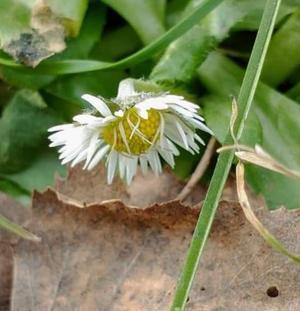 Den 1 mars hittade jag små vita blommor. Det är en underbar årstid vi är så väg in i. Foto: Magdalena Alm Borlänge.