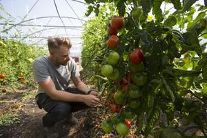 Inne i växthuset odlar Emil Grönlund störbönor, basilika, gurka, melon och flera sorters tomater.