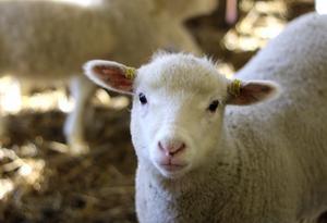 Små lamm må vara bland det sötaste som finns, men lokalproducerat lammkött är också populärt.