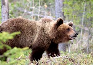 En ungbjörn som rört sig i trakterna av Kvarngatan har fått stor uppmärksamhet.