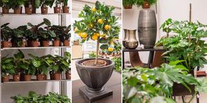 Både inomhus- och utomhusväxter samt snittblommor kommer att finnas i den nya butiken på Lillåudden.