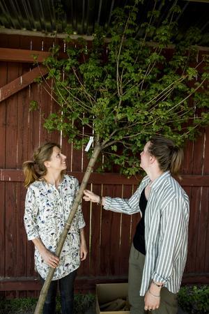 Att köpa lite större träd, som här lönn, är ett av Linn och Lisas bästa tips. På sätt sparar man flera år som man slipper vänta på att trädet ska växa. Och trädgårdsmästaren har gjort grundjobbet med beskärning så man får ett större träd med en rundare finare krona direkt.