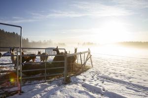 Vargarna har inte gjort något för att försöka ta sig in till lamorna hos Anneli Karlsson, länsstyrelsen tror därför att det kan vara något annat som lockat vargarna att stanna kvar i området.