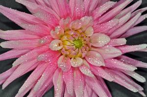 En rosa dahlia blomma i rabatten.