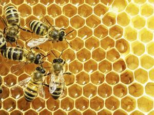 Det är vanligt att bin får socker i stället för honung att leva på under vintern. Inte ens KRAV kräver att bina ska få honung som vinterföda.    Foto: Shutterstock
