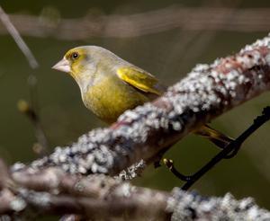 Grönfink   Grönfinken är lätt att känna igen där hanens gröna dräkt och det lysande gula på vingen avslöjar arttillhörighet. Honan är mer diskret men även hon har antydan till gult på vingen.