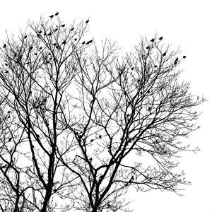 På annandag jul kom en flock sidensvansar till grannens träd. Bilderna jag tog visade en grådaskig, tråkig himmel, så jag gjorde en bild till en rent svartvit bild. Det blev en grafisk effekt av det hela.