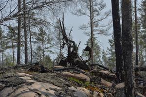 Skogsbränder har även i år satt sina spår./FOTO: Jonas Ekströmer/TT