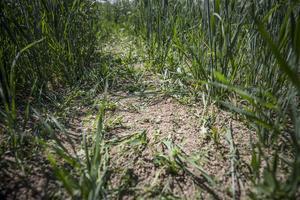 Det finns spannmålsbönder  som antagligen förlorat mer än halva skörden på grund av torkan.