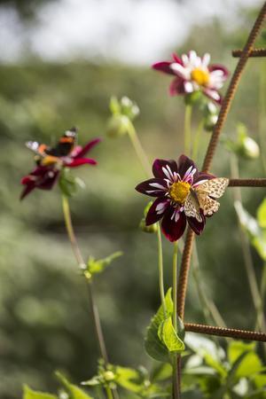 Den vinröda dahlian Mary Evelyn är inte bara vacker den är också riktigt populär bland fjärilar och humlor.