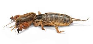 Den starkt utrotningshotade mullvadssyrsan är en en av många insektsarter som  nu riskerar att helt dö ut. Foto: Wiki Commons
