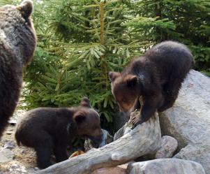En björnhona med tre ungar misstänks ha störts i samband med fotografering i Rättviks kommun. Den här bilden är tagen i hägn.