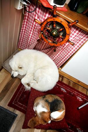 hundlur. Hundarna Bizze och Tjorven tar en eftermiddagslur under rodret i styrhytten.