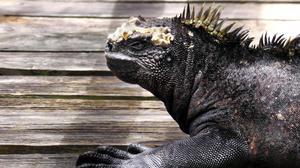 På Galapagos finns dessa Iguanas som lever av att äta sjögräs på havsbotten när de inte ligger i solen för att värma sig.