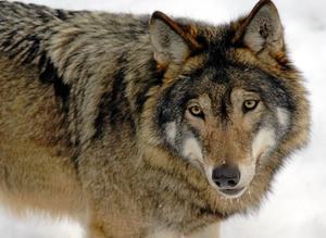 Vän eller fiende? Många privatpersoner och organisationer har överklagat länsstyrelsens beslut om skyddsjakt på varg.foto: scanpix