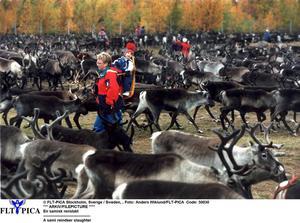 För att freda renar under kalvingen  hoppas Rolf G. Swedbergh att vägen till Storulvån hålls stängd.