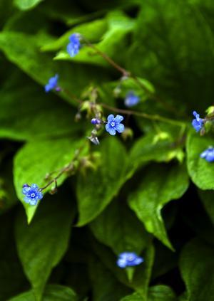 Att plantera många av samma sort för att göra intrycket av trädgården mer harmoniskt är ett av Karins tips. Ormöga som blommar tidigt finns det mycket av hos Karin.