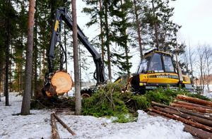 Skogsentreprenören Conny Olsson slutavverkar med hjälp av en skördare.