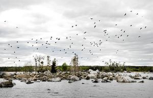 Många stug- och båtägare gillar inte fåglar. Skarven är en sjö- och havsfågel som ofta ställer till problem med sin spillning.