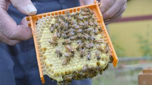 Biodlaren Åke Flood har både miniatyrsamhällen och vanliga samhällen. Drottningen är det lite större biet med en vit fläck i nacken.