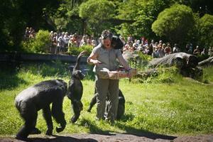 Extramamman Ing-Marie Persson, med Selma på ryggen, delade ut mat åt schimpanserna i Furuvik.