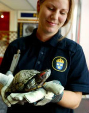 Karin Lindberg vid polisen har koll på sköldpaddan. Inlåst i en hundbur nere i polisens källare ska den inte kunna rymma igen.