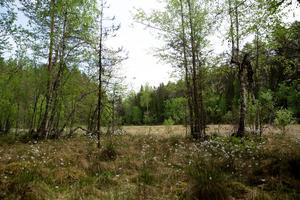 Vi befinner oss i världens brunbjörntätaste område, i Lesjön utanför Rossön.