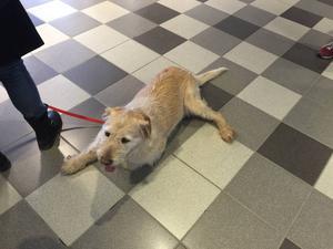 Arthur, den tidigare hemlöse hunden i Ecuador, har fått ett hem i Örnsköldsvik.