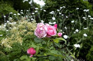 Queen Elisabeth är en klassiker bland trädgårdsrosor.