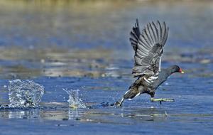 Rörhönan slår upp vattenkaskader när hon springer på Rudsjöns vatten.    Foto: Göran Persson