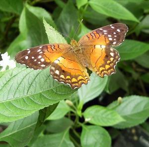 Det finns många vackra fjärilar, den ena färggrannare än den andra