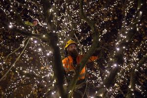 Arboristerna har pyntat 16 träd på Munkgatan.
