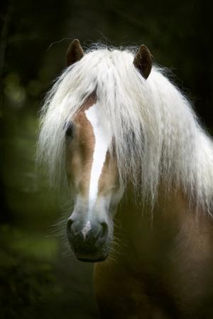 Sagohäst. Fotografen fastnade för hästens utseende och uttryckte kort och gott att den liknar en sagohäst. På bilden är det hingsten Nachtmann som poserar för kameran. Foto:Karin Rickardsson