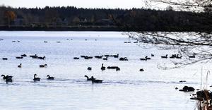 Kommunala beslut om utökad jakt har minskat problemen med vildsvin i Norrtälje stad. På samma sätt behövs det nu kommunala beslut om jakt även på kanadagäss. I annat fall riskerar Norrtälje stads badplatser bli otjänliga ännu tidigare på säsongen. Foto: Michael Landberg
