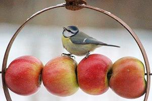 Trippellitripp...lilla blåmesen gillar äpplen . Foto: Monica Litz.