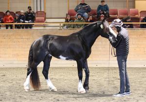 Kalmar visades av Mikael Andersson. Hästen är norskfödd, men ägd i Njurunda.