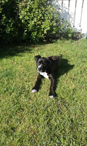 Den fjorton veckor gamla hundvalpen Marley har saknats i en vecka nu.