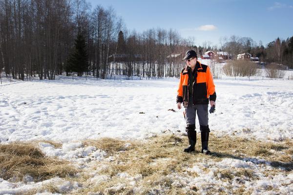 Tofsvipan satte sig för att söka föda vid Kjell-Erik Karlssons utfordring i hästhagen. Medan snön ligger kvar är det dock svårt för fågeln att få tag i insekter och maskar, som är dens föda.