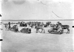 Renrajd tar paus på Malgomajsjöns is. Foto: Västerbottens museum