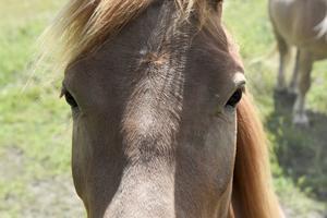 Saphira är en av gårdens egenuppfödda hästar.