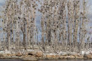 Skarvens närvaro slår tillfälligt mot växtligheten på de öar de etablerar sig. På lång sikt kan den ha en positiv effekt.