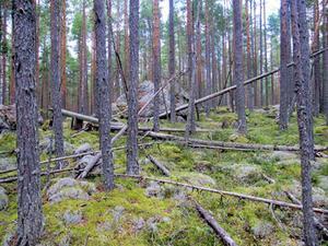 Naturvården och skogsbruket har värderat Oreskogarna efter olika måttstockar. Foto: Ville Pokela, Länsstyrelsen i Dalarnas län
