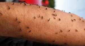 När översvämningsmyggorna invaderar områdena kring Österfärnebo och Gysinge är det svårt att värja sig. Foto: Stefan Tkatjenko.