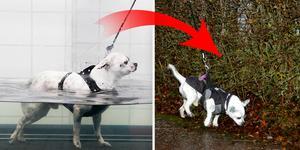 Från en ryggrad som var av och hårdträning till att kunna gå utomhus igen. Hunden Ganne är unik.