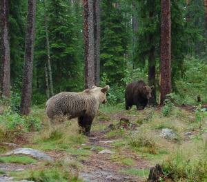 Inför björnjakten slutar man att lägga ut mat. Björnarna förstår den signalen och försvinner spårlöst.