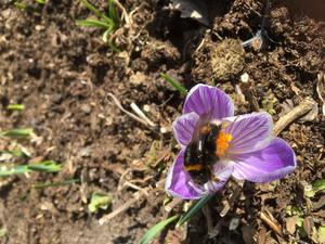 Så här skriver Britten om sin bild: Våren är äntligen här. Ljuset solen värmen. Trots att alla krokus utom en blev uppätna i natt blev jag glad av upptäckten att årets första humla hittat den ensamma krokusen i rabatten i södra Nånö. Foto: Britten Björklund