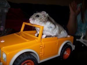 Den lilla sibiriska dvärghamstern Simon har precis klarat körkortet...