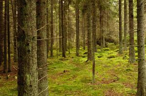 Skogen kräver sin vårdare för att må bra, skriver NT:s krönikör Sofi Piehl. Foto: TT