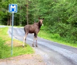 Mötte denna älg när vi plockade midsommarbukett till midsommar. Foto: Birgitta Ivarsson.