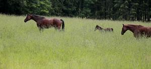 Djuren får bättre skydd i stallet, menar Vernon Cooray. Dessa hästar har inget med händelsen att göra. Foto: Stina Stjernkvist/TT